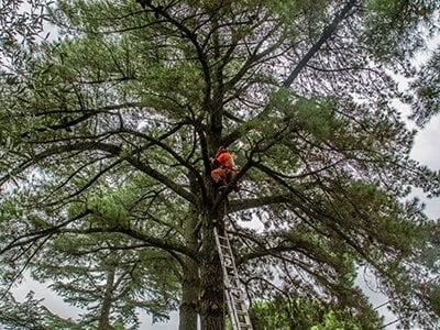 poda de pinos Madrid