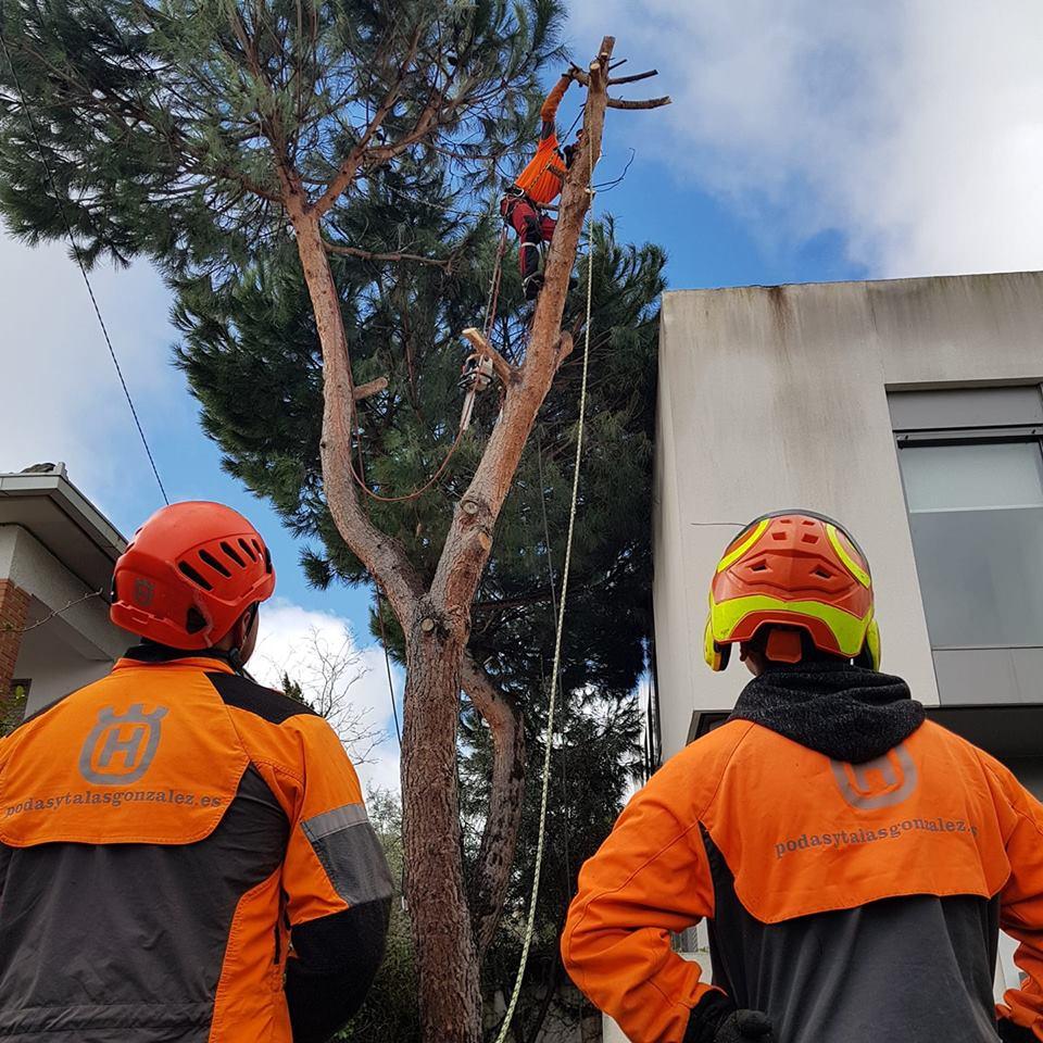 Tala controlada pino común