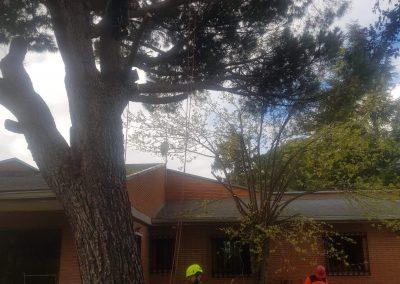tala pinus pinea grandes dimensiones